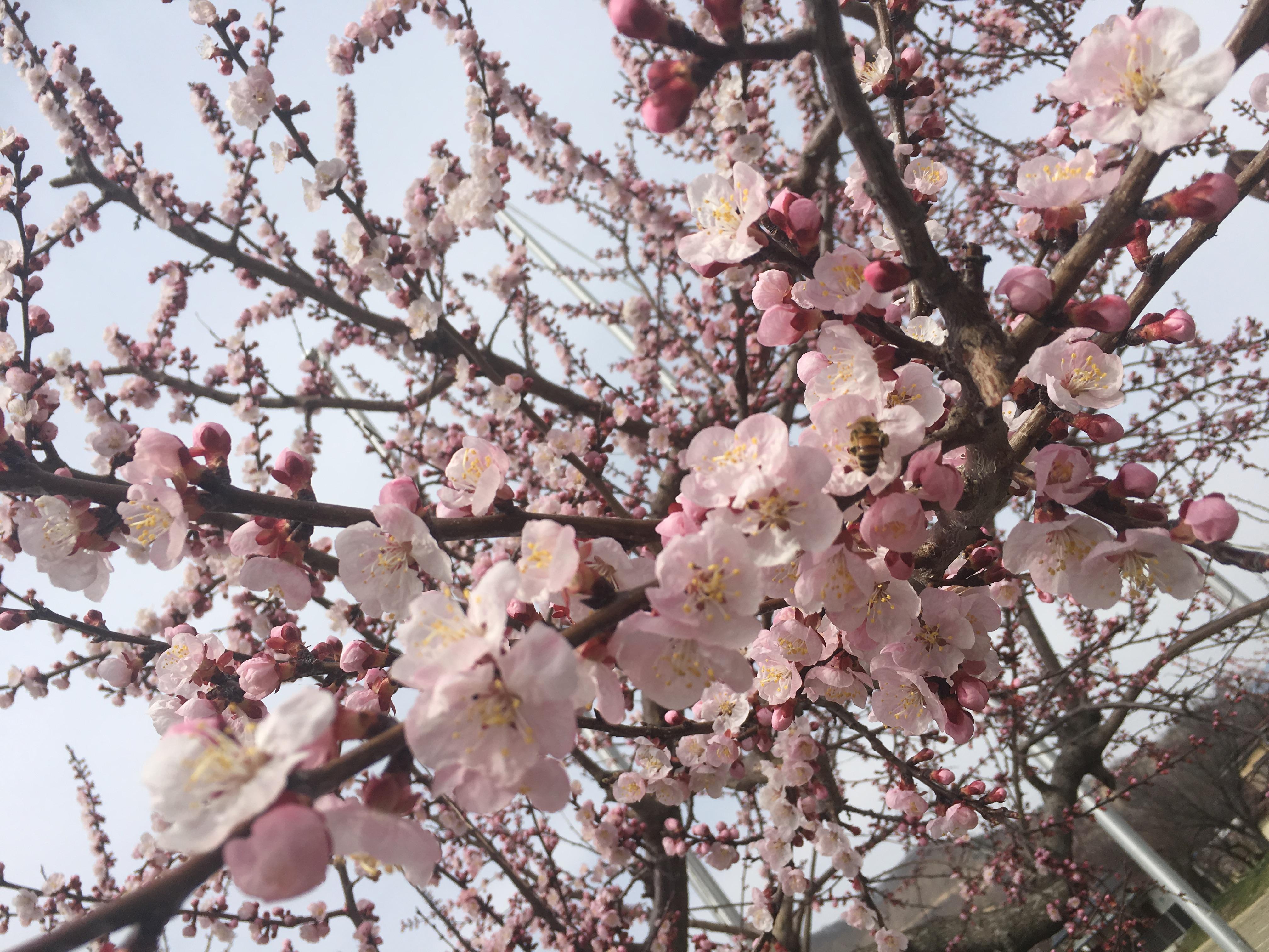 あなたにとっての春の花は?