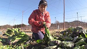もっと!信州77「豊丘村編」| 伝統野菜「源助かぶ菜」の収穫