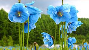もっと!信州77「大鹿村編」| 幻の花(青いケシの花)