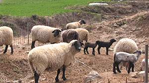 もっと!信州77「阿南町編」| 羊のブランド、サフォーク