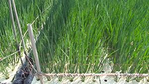 もっと!信州77「中川村編」|水耕栽培のネギ(アクアロマン)