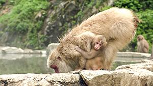 スゴイ!信州のおもてなし(いいね!信州スゴヂカラ)| スノーモンキーパーク(地獄谷野猿公苑)