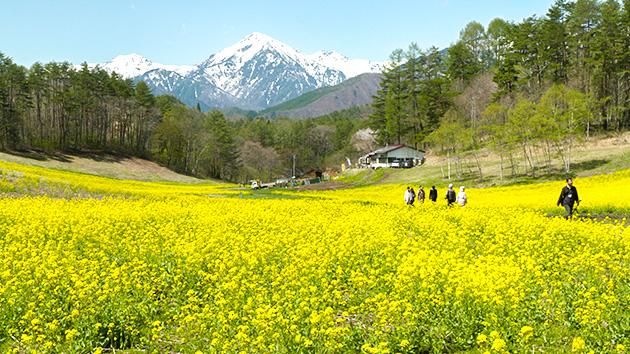 絶景!北アルプスと黄色いじゅうたん 菜の花畑のスゴヂカラ(いいね!信州スゴヂカラ)