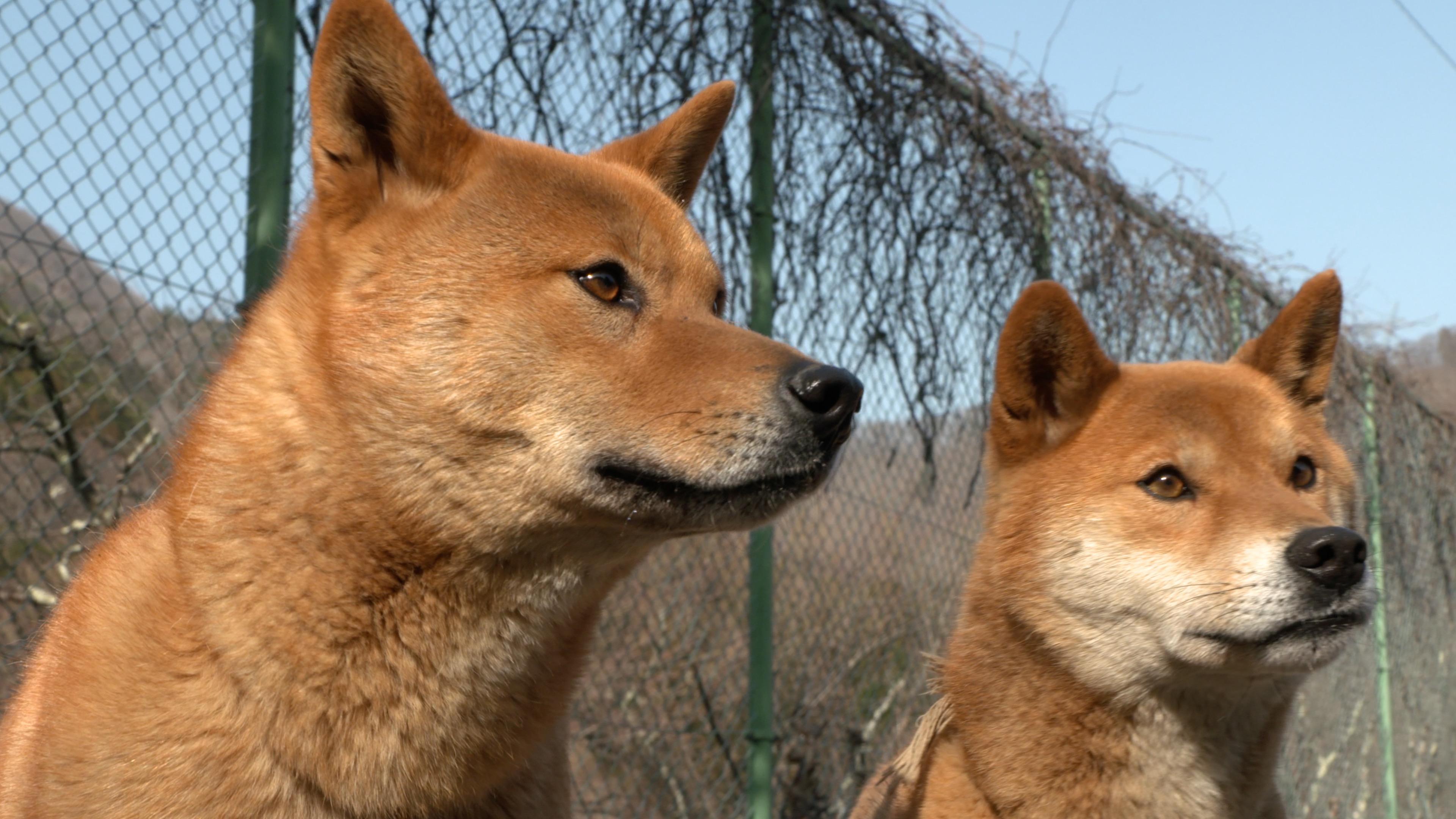 梓山犬を知っていますか?